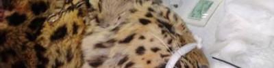 В Приморье ветеринары готовятся «выписать» спасенного леопарда
