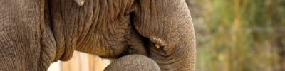 Ряд африканских стран требуют разрешить торговлю слоновой костью