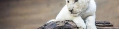 В венгерском зоопарке родился белый львенок