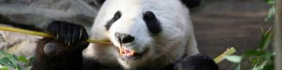 В Московском зоопарке рассказали о самочувствии панд из Китая
