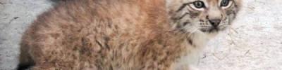 В Московском зоопарке появились на свет краснокнижные рысята