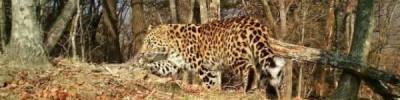 Приморский леопард заблудился у погранперехода между РФ и КНР