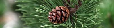 В Иркутской области лесник украл 16 бочек с семенами сосны