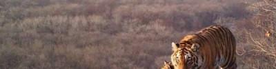 На Дальнем Востоке отложили «перепись» амурских тигров