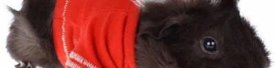 Свитер для свинки, шафер для пса. 6 забавных новостей из мира животных