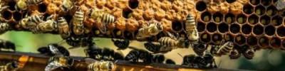 На Алтае зафиксирована массовая гибель пчел