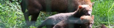 Что за кустарниковая собака, щенки которой родились в Московском зоопарке?