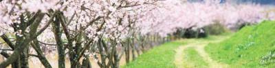 В ботаническом саду МГУ «Аптекарский город»расцвела сакура