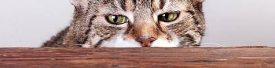 Кошачье ожирение. Как правильно кормить домашних питомцев