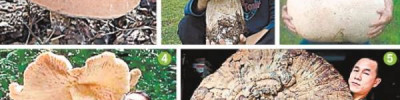 Как часто находят гигантские грибы?