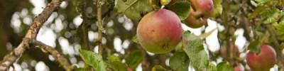 В России с помощью волонтёров создадут фенологическую базу данных о яблонях