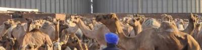 «Купи себе Светлану с горбом!». Адский репортаж с рынка верблюдов в Египте