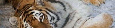 В Индии на свадьбу пришел тигр-людоед