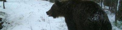 В подмосковном лесу к специалистам минэкологии вышел бурый медведь