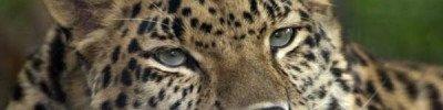 В Приморье самая редкая в мире кошка попала на запись видеорегистратора