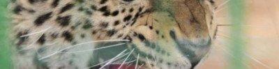 Самку леопарда, пойманную в Абхазии за воровством кур, выпустили на волю