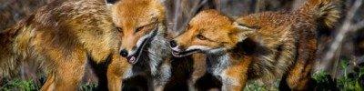 Москвичам советуют не контактировать с дикими лисами