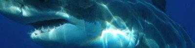 Горбатый кит спас женщину от акулы в Тихом океане