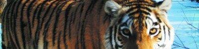 В Приморском крае пытаются спасти истощенную тигрицу