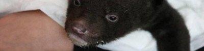 Гималайского медвежонка подбросили к охотнадзору в Приморье
