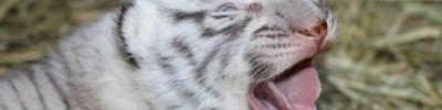 Три белых тигренка родились в зоопарке во Франции