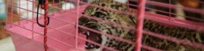 Во Владивостоке среднеазиатская овчарка «воспитывает» котенка леопарда