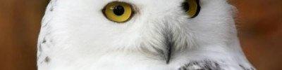 В «Мосприроде» прокомментировали появление полярной совы в Сокольниках