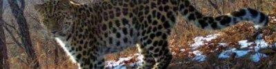 Ученые зафиксировали рост числа дальневосточных леопардов