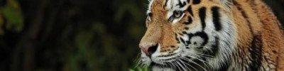 Раненая в Хабаровском крае тигрица погибла