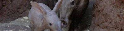 В зоопарке Екатеринбурга родился детеныш трубкозуба