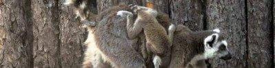 В Московском зоопарке родились два детеныша кошачьих лемура