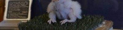 Орнитологи из МГУ восстанавливают популяцию сокола-кречета