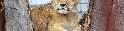 Найденного в столичном Бирюлеве льва отправят в Абаканский зоопарк