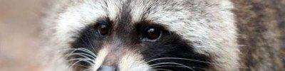 В Новосибирском зоопарке кошка «усыновила» енотов