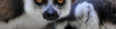 Ученые сообщили, что мадагаскарские лемуры находятся на грани вымирания