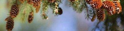 Народные приметы: каким будет урожай огурцов, если в лесу много шишек?