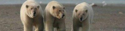 Около 20 белых медведей с детенышами бродят вокруг села на Чукотке