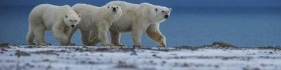 Эксперт WWF рассказал о причинах нашествия медведей на Новой Земле