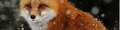 Лисица застряла на льдине на Москве-реке