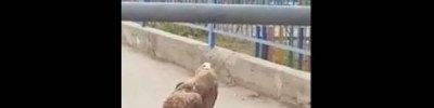 В Астрахани из-за выбежавшего на дорогу орлана образовалась пробка