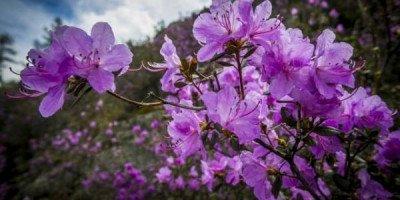 Цветение маральника. Как будут отмечать праздник на Алтае?
