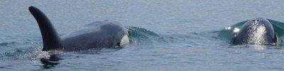 Суд не разрешил выпустить на волю косаток из «китовой тюрьмы» в Приморье
