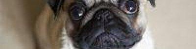 Стоит ли брать в дом щенка во время самоизоляции?