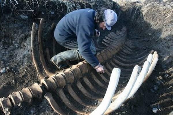 Фото На Камчатке обнаружили скелет вымершей морской коровы Стеллера