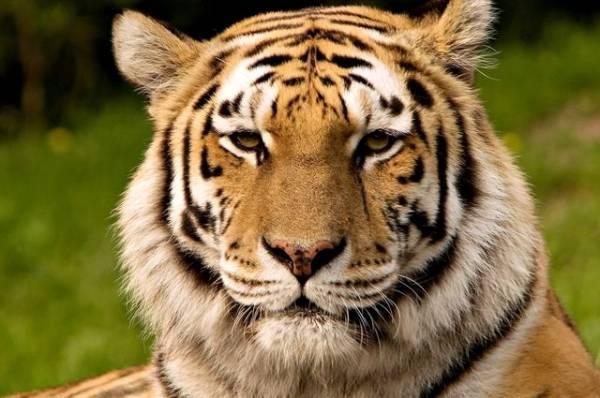 Фото Глава Минприроды РФ призвал разобраться в ситуации со смертью тигра в США