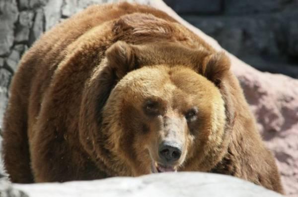 Фото В Московском зоопарке вслед за енотами впали в зимнюю спячку медведи