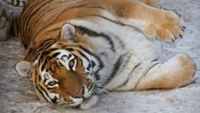 Фото В Индии на свадьбу пришел тигр-людоед