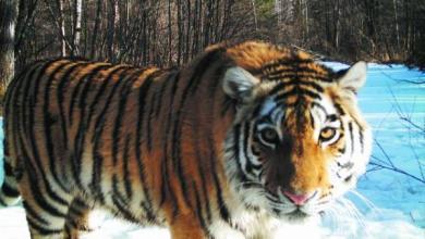 Фото Ученые оценили опасность тигра, гулявшего по Владивостоку
