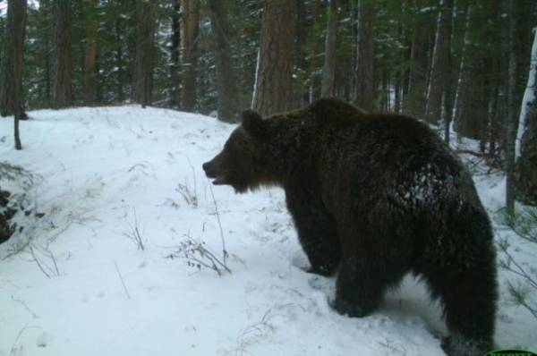 Фото В подмосковном лесу к специалистам минэкологии вышел бурый медведь