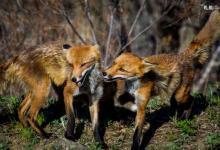 Фото Москвичам советуют не контактировать с дикими лисами